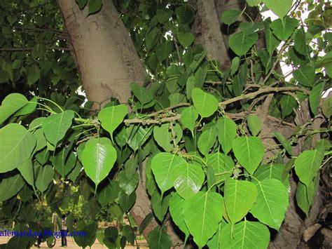 tropical subtropical trees index of tropical and subtropical trees ficus religiosa