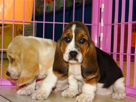 dogs for sale in nc basset hound puppies dogs for sale in carolina nc greensboro