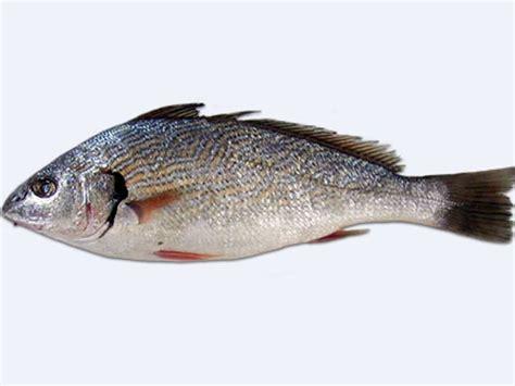 cucinare ombrina ombrina pesce di mare come si cucina alimentipedia