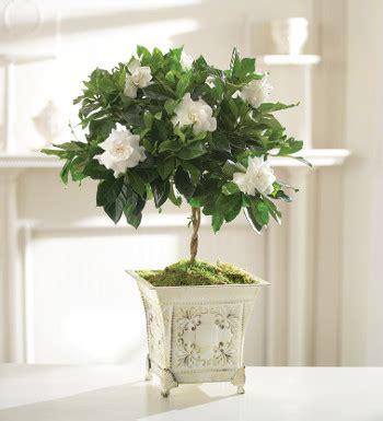 care  gardenia indoor veridiczpoe