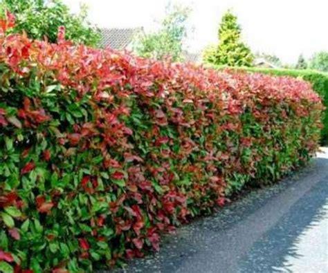 Tanaman Hias Ravenia Spectabilis cara stek pucuk merah bibitbunga