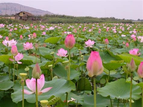 301 Moved Permanently Lotus Flower Garden