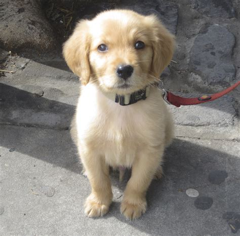 golden retriever puppies 6 weeks size of 8 week golden retriever dogs in our