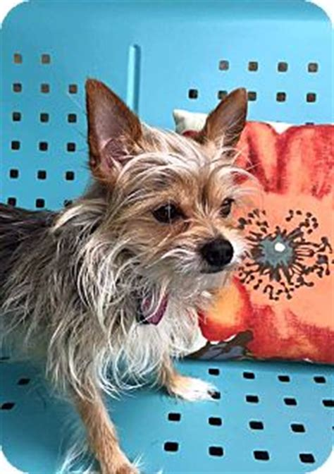 yorkie rescue columbus ohio columbus oh yorkie terrier chihuahua mix meet tank a for adoption