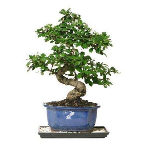 brussel s bonsai bonsai trees indoor plants the home