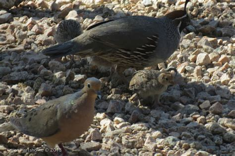 gambel s quail arizona bird watcher