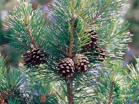 Tannenbaum Nadeln Verhindern by Nadelb 228 Ume Nadelbaum Lexikon Nadelbaumarten