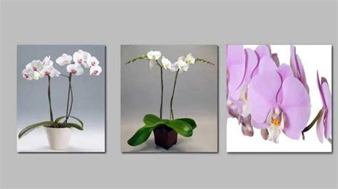 come curare l orchidea in vaso come curare l orchidea ecco i 5 passi per averla sana e