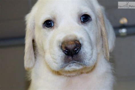 puppy near me puppy sellers near me pets world