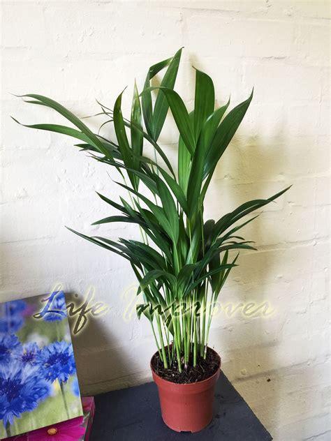 indoor butterfly garden uk 1 x areca palm plant in pot indoor garden office evergreen