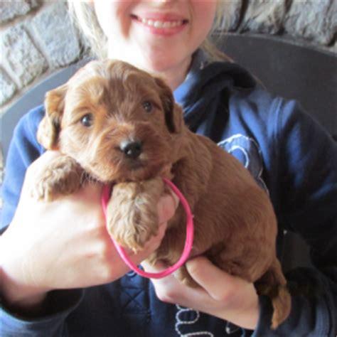 labradoodle puppies wisconsin sale 500 labradoodle puppies for sale breeder adoption wi australian labradoodles