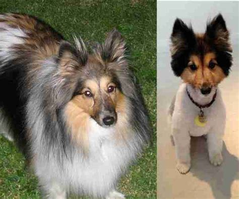before and after cat haircuts 15 dogs before and after their spring haircuts the dodo