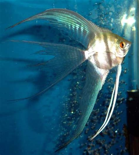 Pakan Pelet Ikan Black Ghost the angelfish see their wings kaskus
