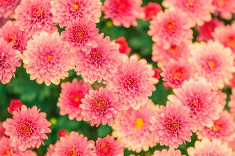 photos of flowers free photo flowers summer pink nature free image on