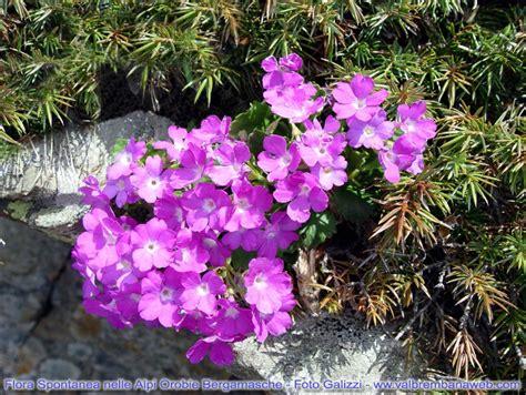 flora fiori flora alpi orobie