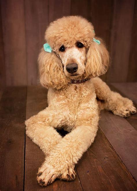 poodle lifespan standard 1000 ideas about standard poodles on poodle