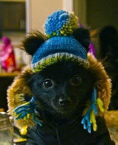 pomeranian wearing clothes 1000 images about pomfashiontrends on pomeranians animals and clothes