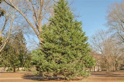 grow l for how fast do cedar trees grow beatiful tree