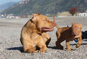 red nose chien pitbull