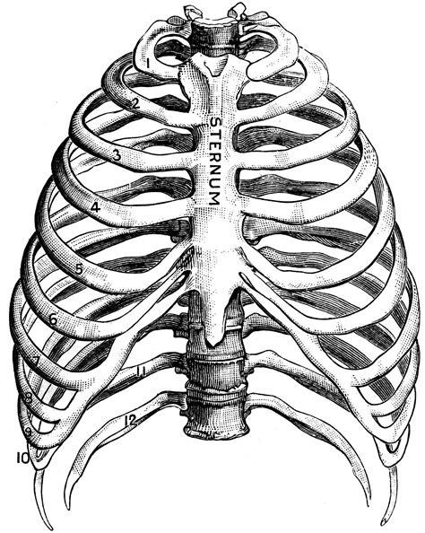 ribs clipart human ribs clipart