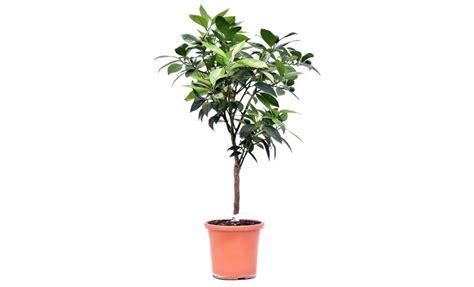 pianta di arancio in vaso pianta di arancio vaniglia in vaso 20 cm savini vivai di