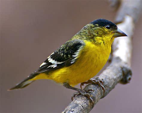 lesser goldfinch feederwatch