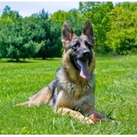 german shepherd puppies for sale in toledo ohio german shepherd puppies for sale in eastern ohio