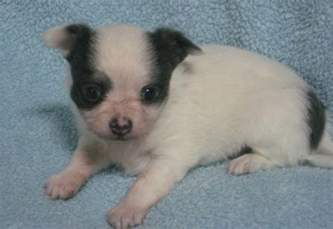 free teacup chihuahua puppies in nc dogs garner nc free classified ads