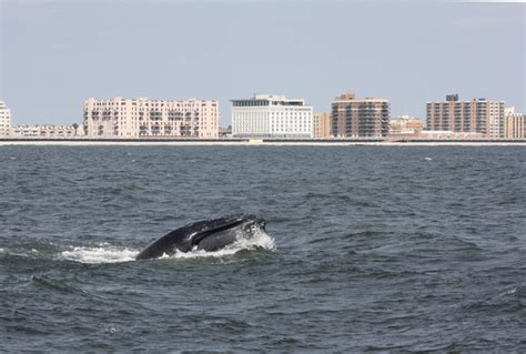 dinner on a boat in atlantic city humpback whale sightings skyrocket by more than 400 in