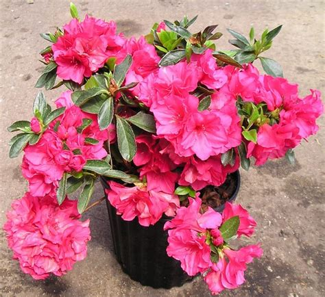 azalea in vaso azalea potatura piante per giardino potare le azalee