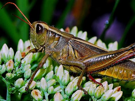 Would You Eat This Grasshopper Snack by Astonishing Benefits Of Grasshoppers