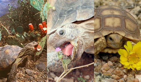 6 Reasons To Get A Tortoise by Six Reasons The Desert Tortoise Will Defeat Humanity