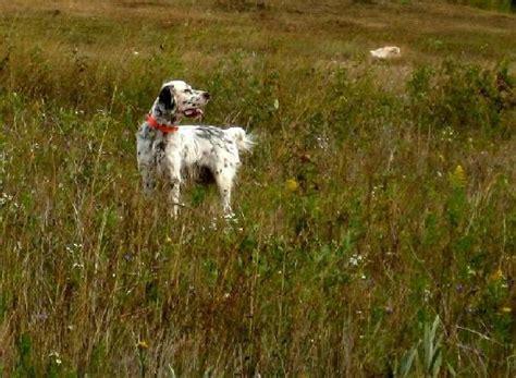 english setter house dog english setters dog photo english setter pedigree photos