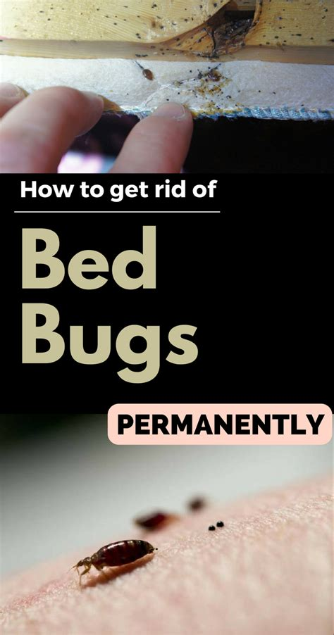 how to eliminate bed bugs how to get rid of bed bugs permanently