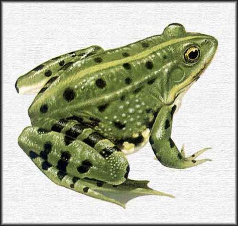 imagenes de ranitas verdes animales fotos dibujos imagenes fotos de ranas