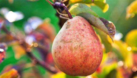 kirschlorbeer schneiden herbst birnbaum schneiden im winter bringt eine reiche ernte im