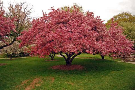 panoramio photo of crabapple tree