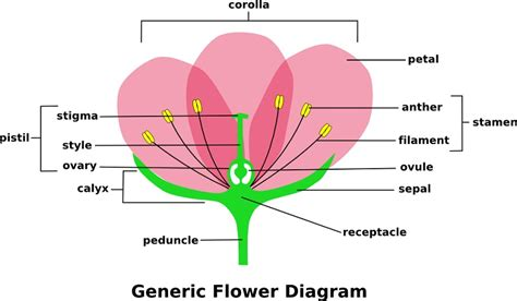 flower part diagram parts of a flower diagrams diagram site