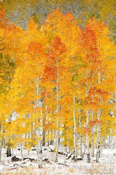 1000+ ideas about aspen trees on pinterest | aspen, trees