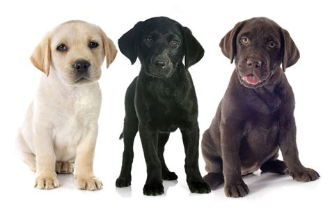 black lab vs golden retriever labrador vs golden the battle of the retrievers practical paw the toolkit