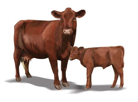 cow breeds poll cattle heritage livestock breeds sustainable farming earth news