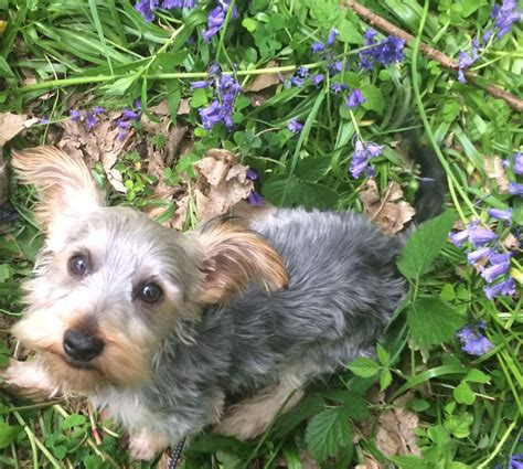 potty yorkies puppies 1kc yorkie puppy boy vaccinated potty trained billericay essex pets4homes