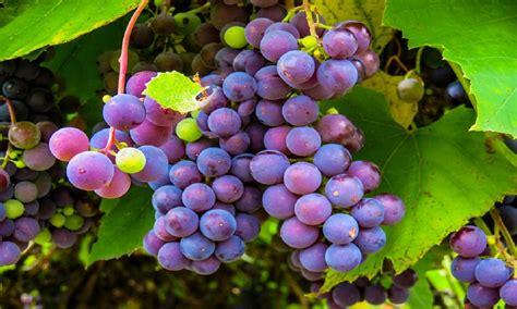 grapes fruit tree helpful tips for tending fruit trees grape vines roses