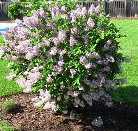 Window Gardening by Green Thumb In Zone 5 Beautiful Miss Kim Lilac In Bloom