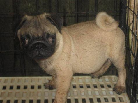 pug for sale in philippines pugs for sale adoption from manila metropolitan area adpost classifieds