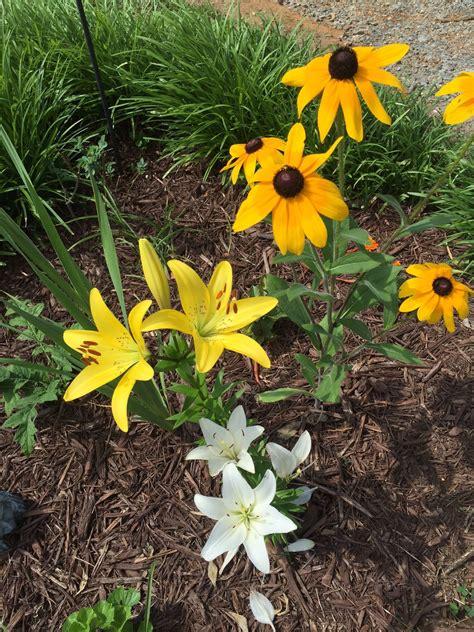 lily plant companions learn  companion planting