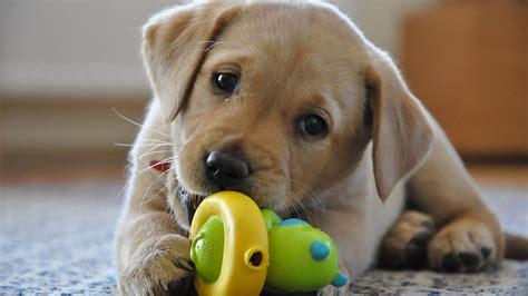 alimentazione cucciolo labrador crescere un labrador archives il carattere dei cani