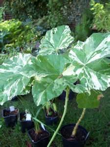 variegated foliage plants malva arborea variegata variegated and coloured