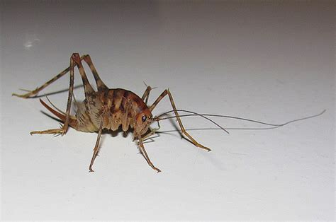 basement crickets cave cricket flickr photo