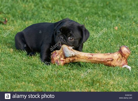 feeding pug puppy black pug puppy enjoying a bone stock photo royalty free image 79409944 alamy